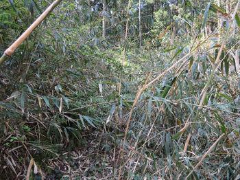 073林道上のササ.JPG