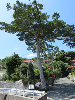 IMG_1480クロガネモチ(下関市指定保存樹木).JPG