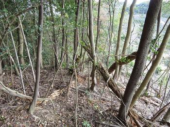 IMG_2597伐採境の雑木尾根・下り.JPG