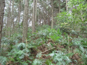 IMG_3215植林尾根・上り・シダ(ヒザ高).JPG