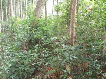 IMG_3239植林境雑木ヤブ.JPG