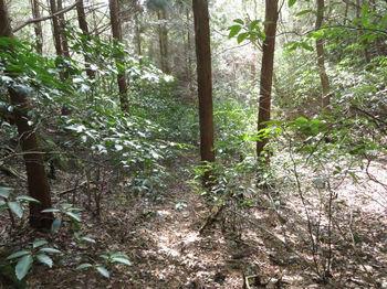 IMG_4225アオキが被る植林谷.JPG