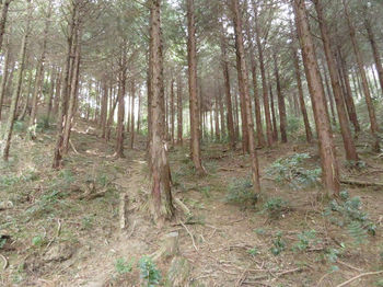 IMG_4487ヒノキ植林.JPG