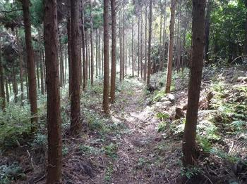 P1030033スギ植林沿いの巡視路.JPG