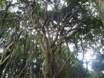 P1030188山頂近くの捻れ木.JPG