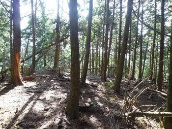 P1030275ヒノキ植林の尾根分岐.JPG