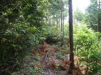 P1060022枝打ちされた植林境.JPG
