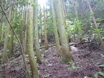 P1060162植林支尾根上にテープ続く.JPG