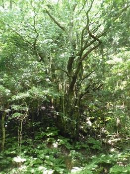 P1060195桂の木.JPG