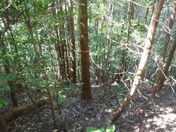 P1060691分岐方向の植林急斜面.JPG