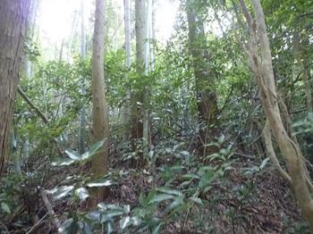 P1060710鞍部から竹交じりの植林尾根.JPG