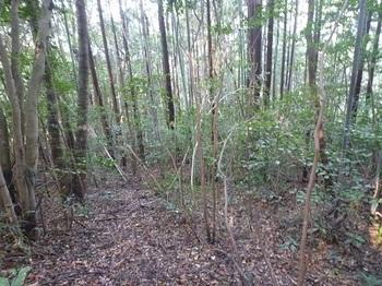 P1060821植林・雑木の緩斜面尾根.JPG