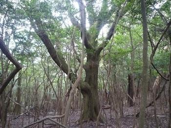 P1060905タコ足の木.JPG