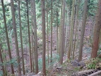 P1060934間伐の植林谷.JPG