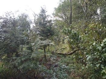 P1070982ヒノキ林境の尾根道.JPG