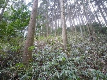 P1080547ササの植林斜面.JPG
