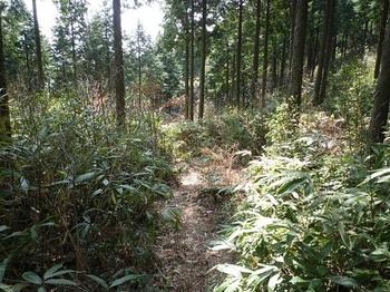 P1080878ヒノキ林・ササの下山道.JPG