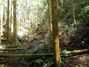 P1080994倒木の植林谷.JPG