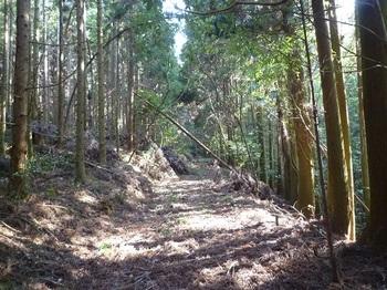 P1090110スギ林の中の林道.JPG