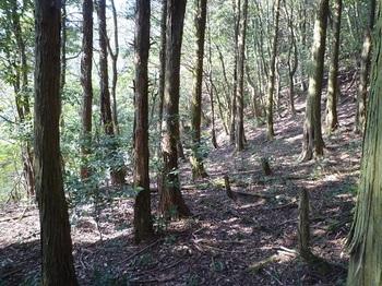 P1090211ヒノキ植林帯.JPG