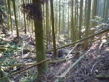 P1090218倒木のスギ谷.JPG