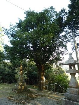 P1090229ナギの木.JPG