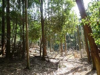 P1090245鞍部で植林帯と出会う.JPG
