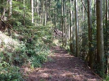P1090639スギ林の林道.JPG