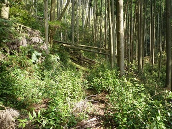 P1090642低木が茂る林道.JPG