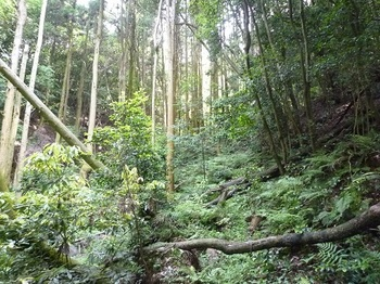 P1100181スギ植林帯・山道一旦不明瞭となる.JPG