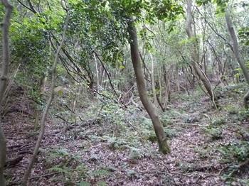 P1100183雑木疎林の斜面.JPG