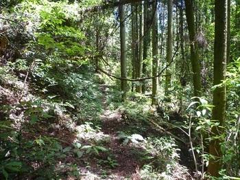 P1100245スギ植林帯沿い.JPG