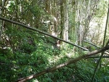 P1100256竹林が現われる.JPG