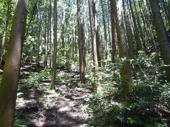 P1100264植林帯の踏み跡を登る.JPG