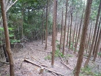 P1100543ヒノキ林境.JPG