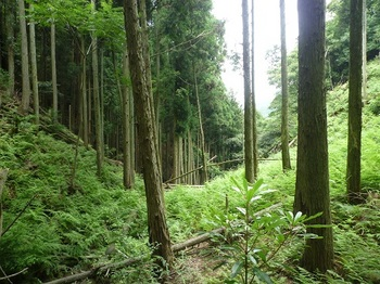 P1100607シダ被りの植林谷.JPG