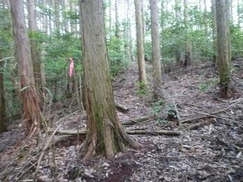 P1100749植林帯の踏み跡.JPG