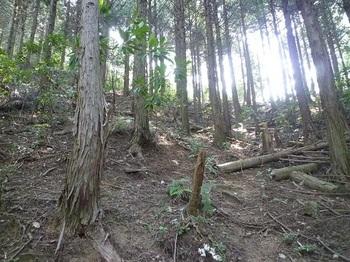 P1100763ヒノキ植林斜面.JPG