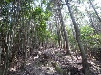 P1100934ヒノキ林境の尾根道.JPG