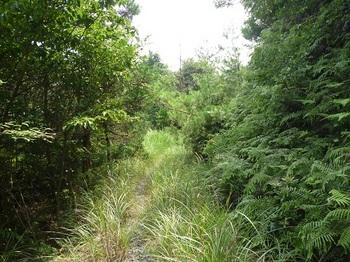 P1110027カヤ被りの林道.JPG