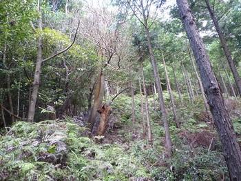 P1110097シダが被る植林沿いの道.JPG