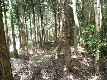 P1110143ヒノキ植林境.JPG