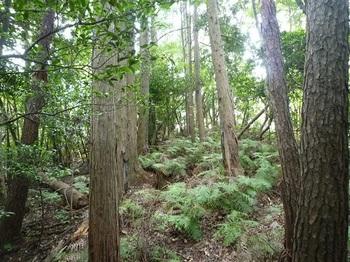 P1110352 シダ被りのヒノキ植林境.JPG