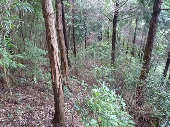 P1110436ヒノキ植林境.JPG