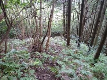 P1110446シダが被る植林境.JPG