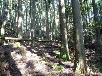 P1110684スギ植林の山道.JPG
