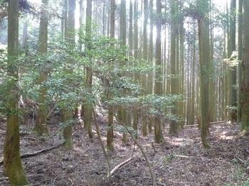 P1120144右の谷方向・スギ植林.JPG
