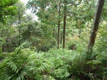 P1120176シダ被りの植林境.JPG