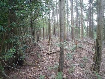 P1120539 390m支尾根合流点・右ヒノキ林境.JPG