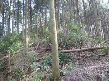P1120552390mピークへの上り・伐採倒木の植林尾根.JPG